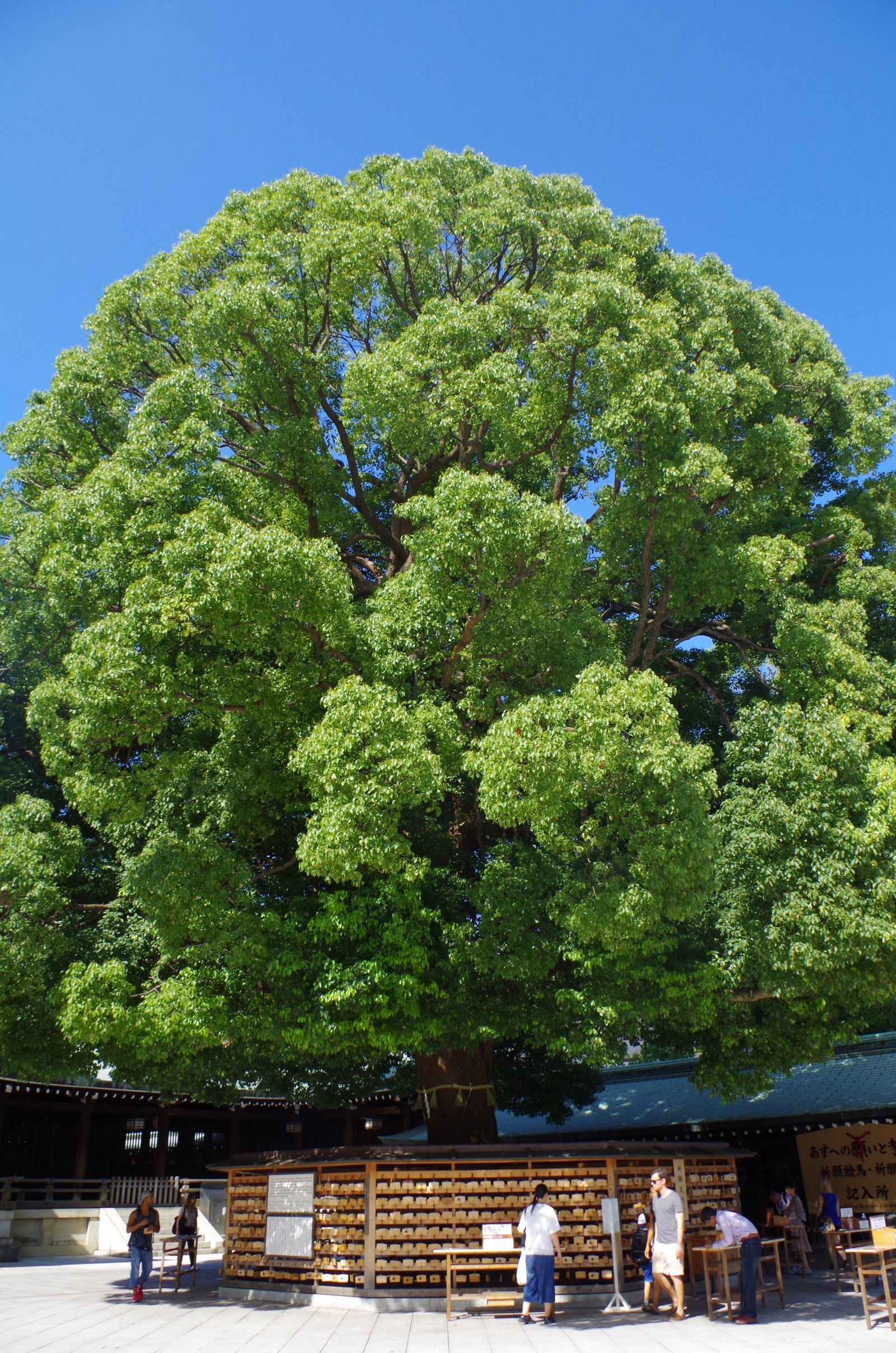 Gigantic tree at Meiji Shrine