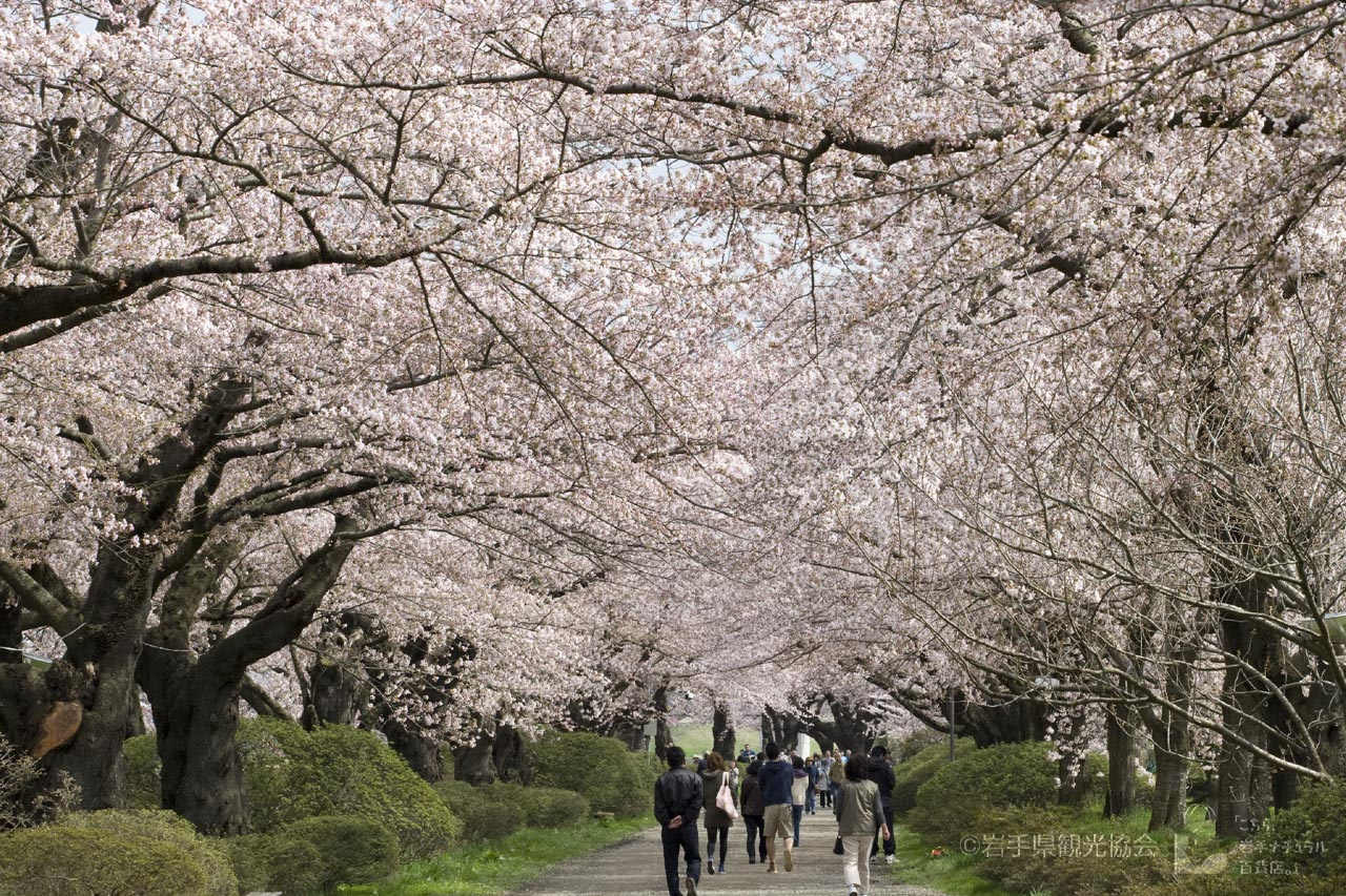 Kitakami Tenshochi: Enjoy over 10,000 Late Blooming Cherry Blossoms