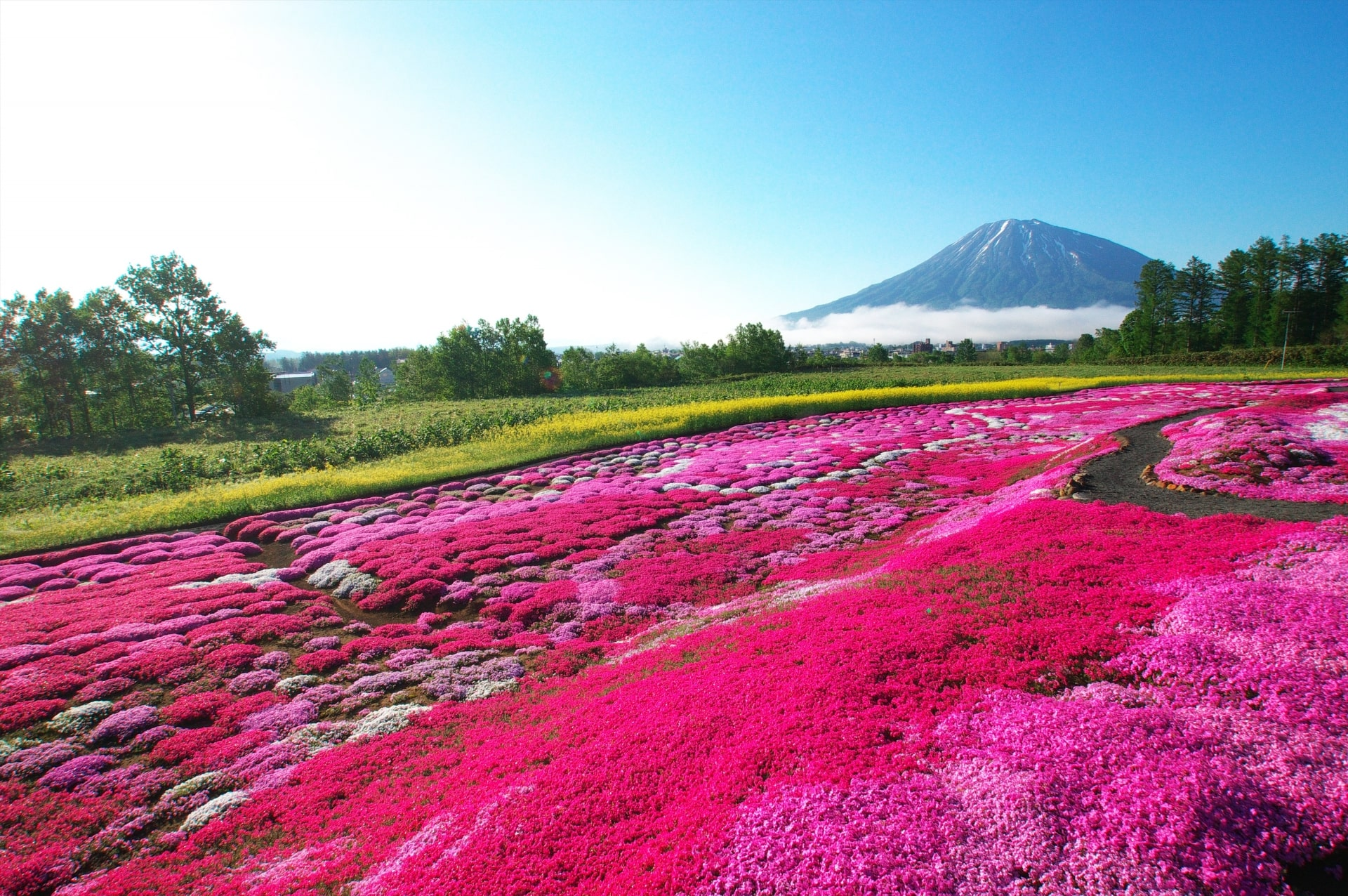 Vivid Pink Moss with Mt Yotei on the background