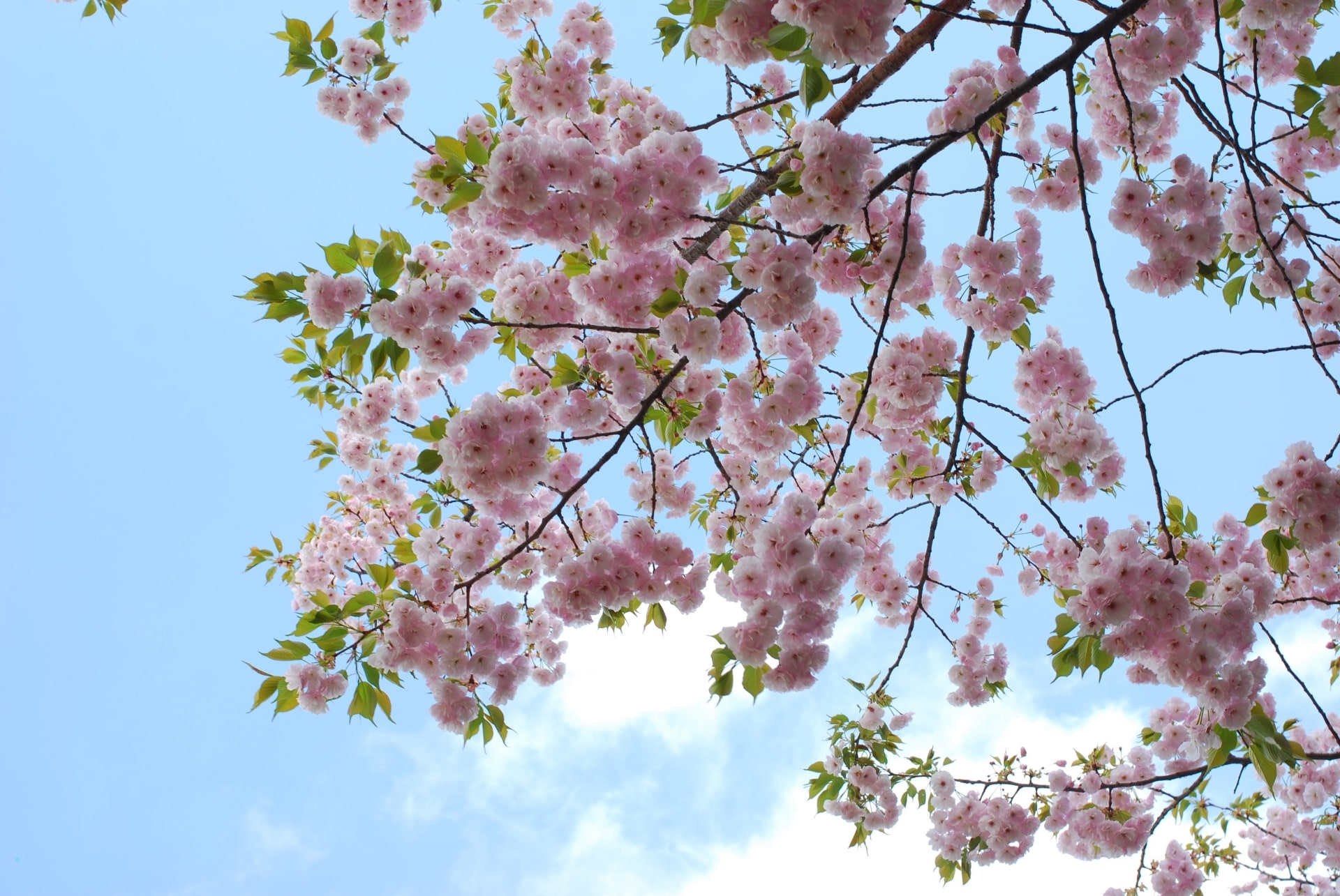 Beautiful contrast between cherry blossoms and the blue sky