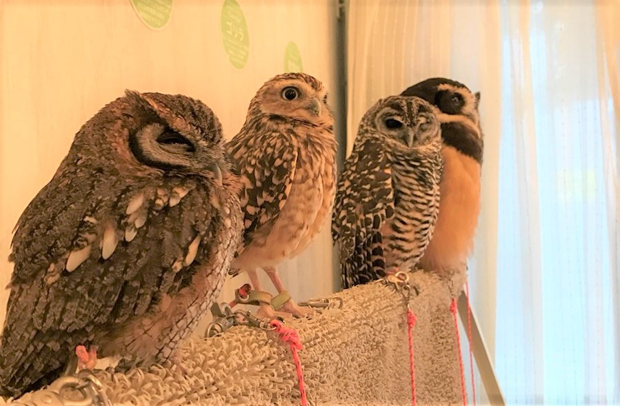 Owls at AKIBA FUKUROU