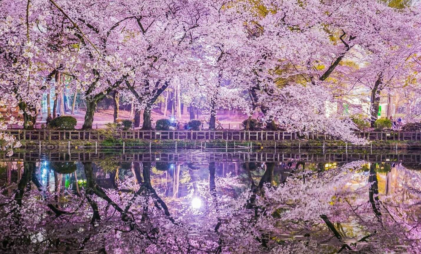 Cherry Blossoms at Inokashira Park ay Night