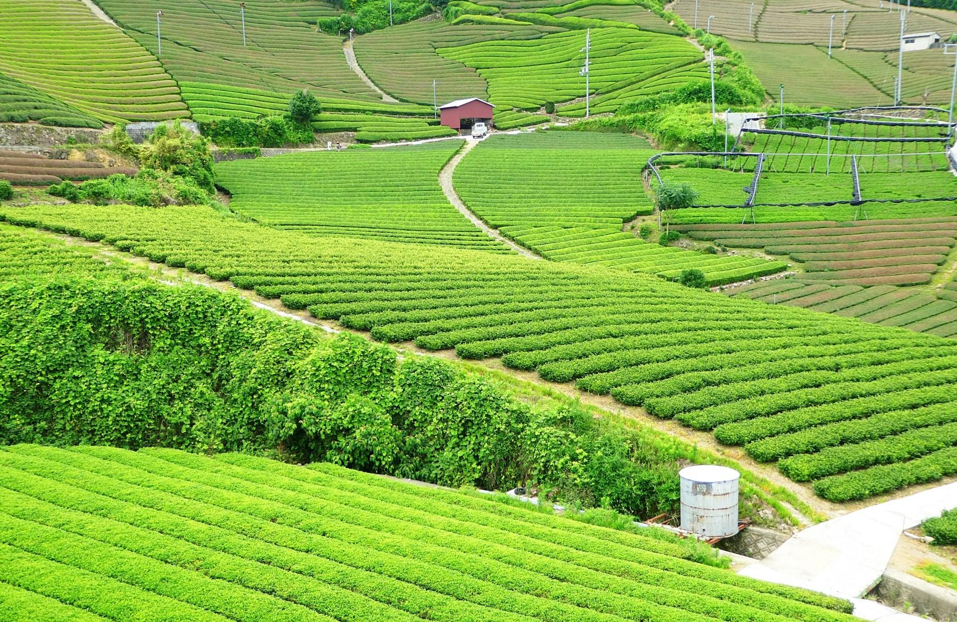 Tea plantation in Wazuka town