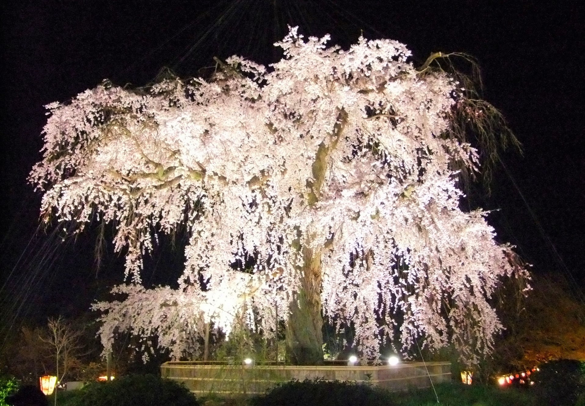 The magnificent cherry tree illuminated at night