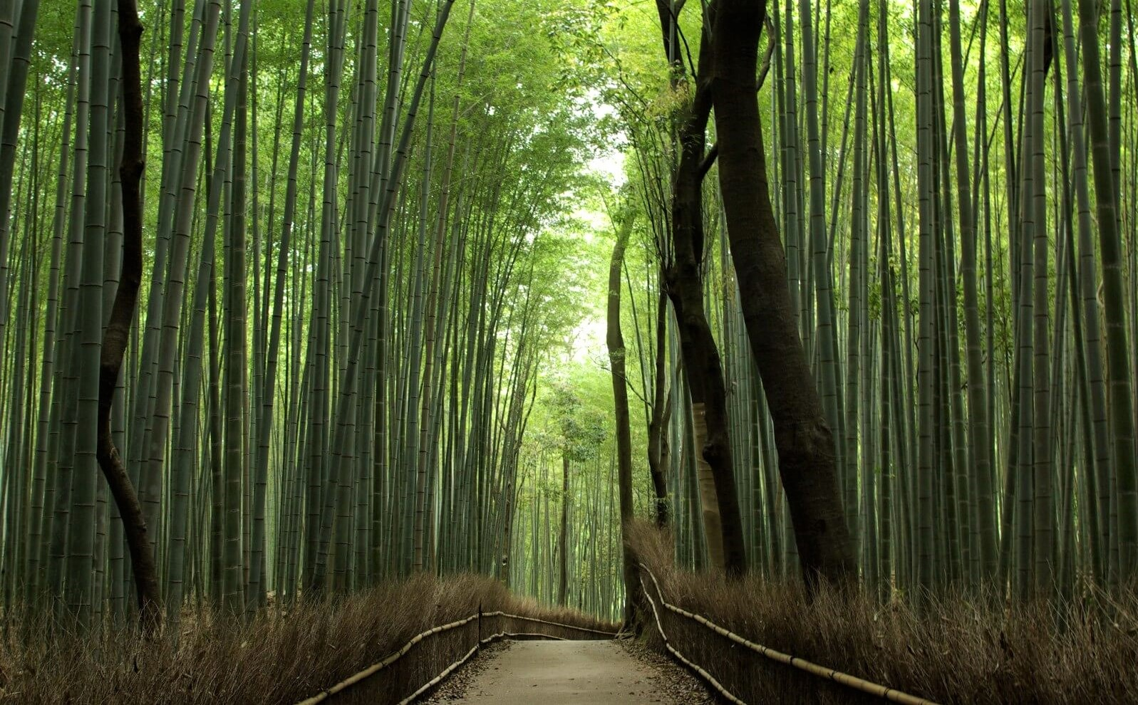 The peaceful path at the bamboo grove in Arashiyama