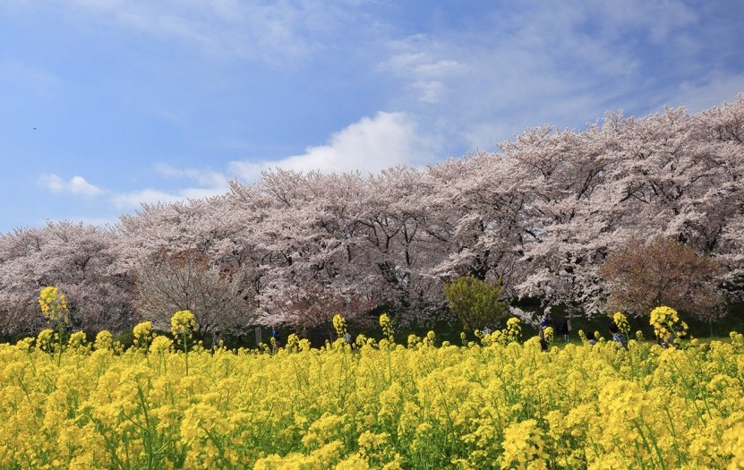 Satte Gongendo Park Cherry Blossoms with Mustard Yellow