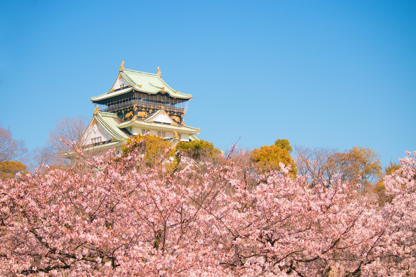 Cherry blossoms with the view of Osaka Castle