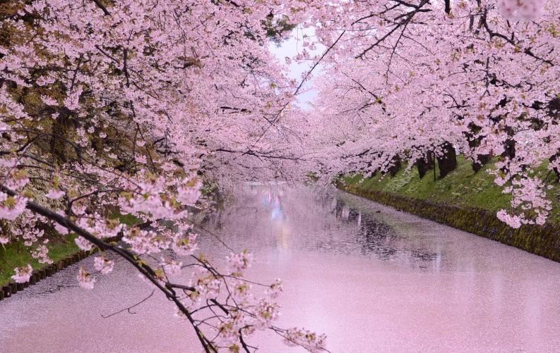 Cherry blossoms in Hirosaki Park, Aomori