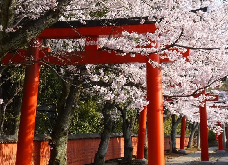 Cherry blossoms with Takenaka Inari Shrine
