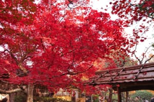 Enrian Temple: the REDDEST Autumn Leaves in Kyoto!