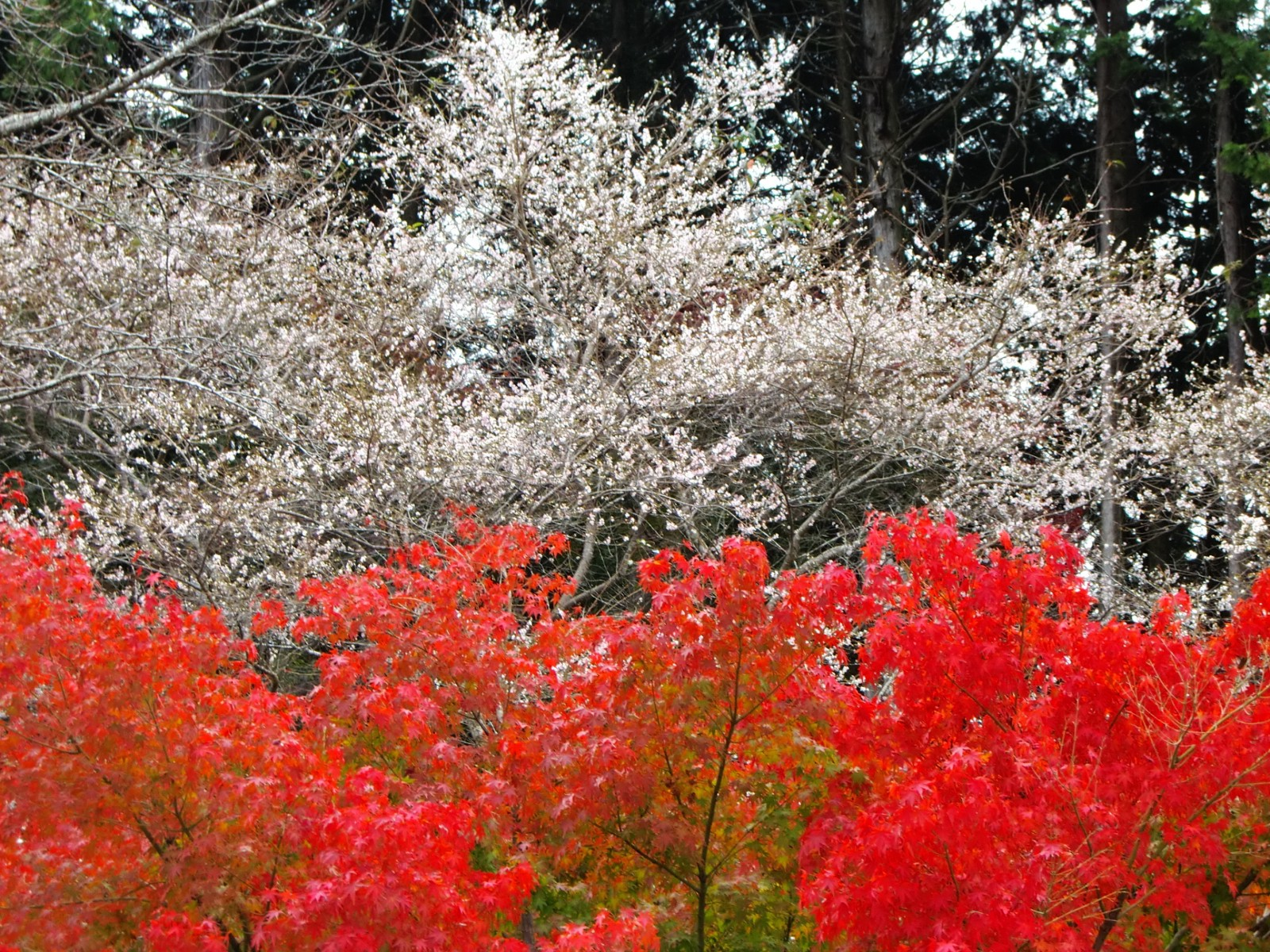 Enjoy Cherry Blossoms In Autumn In Japan 2020 Japan Web Magazine