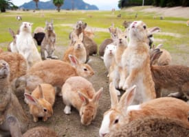 Okunoshima: the Rabbit Island in Japan!