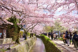 Philosopher's Path Kyoto Cherry Blossoms
