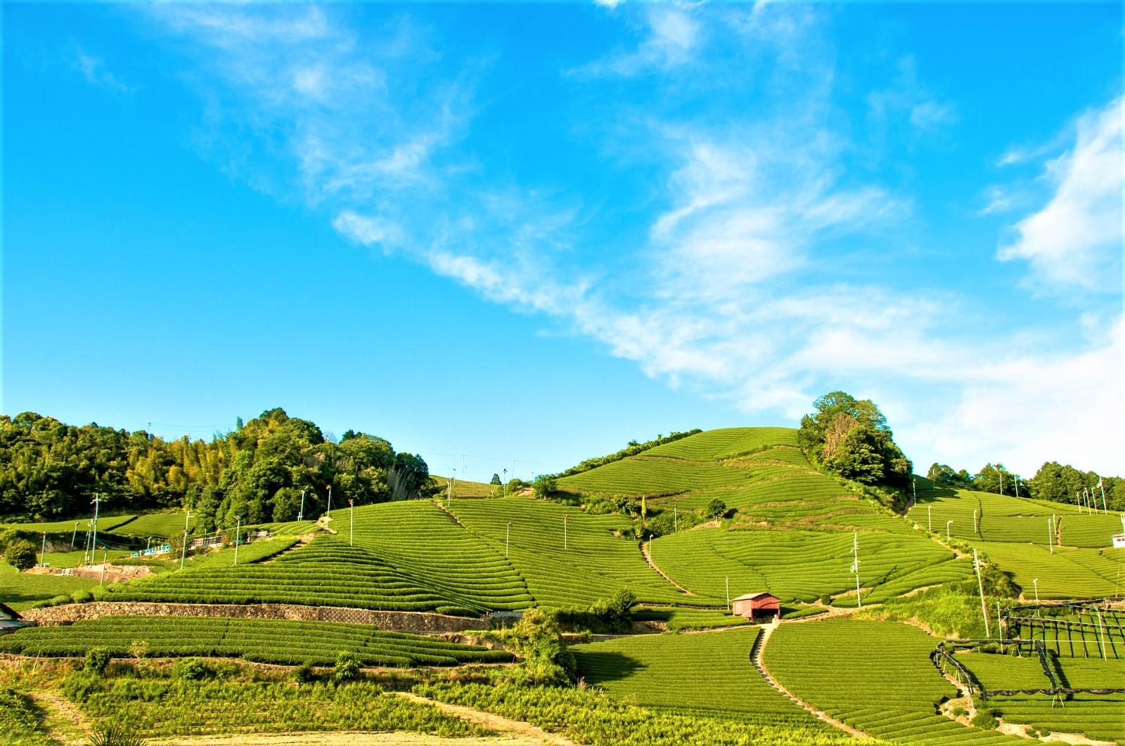 Wazuka Tea Farm: Kyoto's Hidden Teatopia