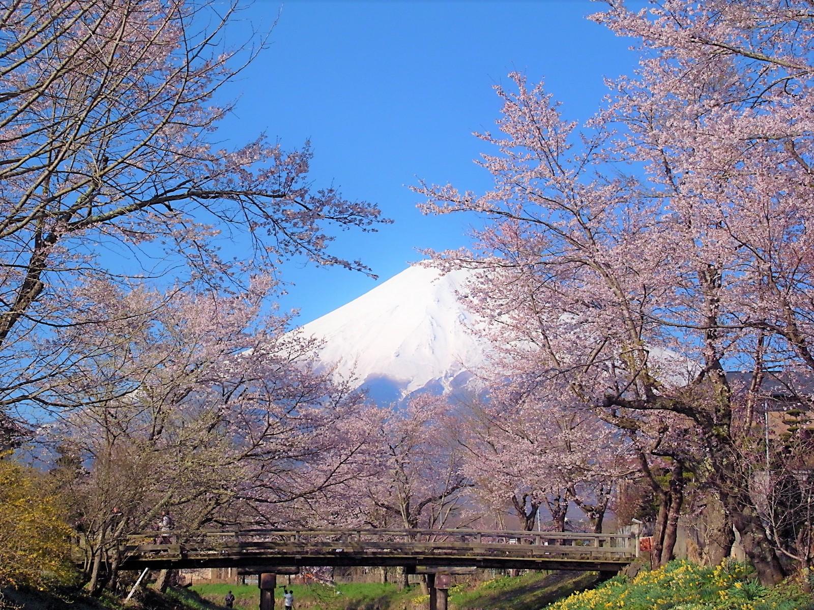5 Best Cherry Blossom Spots Around Mt Fuji 2019 Japan Web
