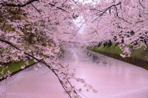 Hirosaki Cherry Blossom : Pink Petals Carpet