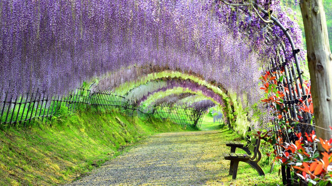 Kawachi Wisteria Garden The Most Beautiful Tunnel In The World