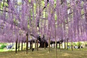 Great Wisteria Festival at Ashikaga Flower Park
