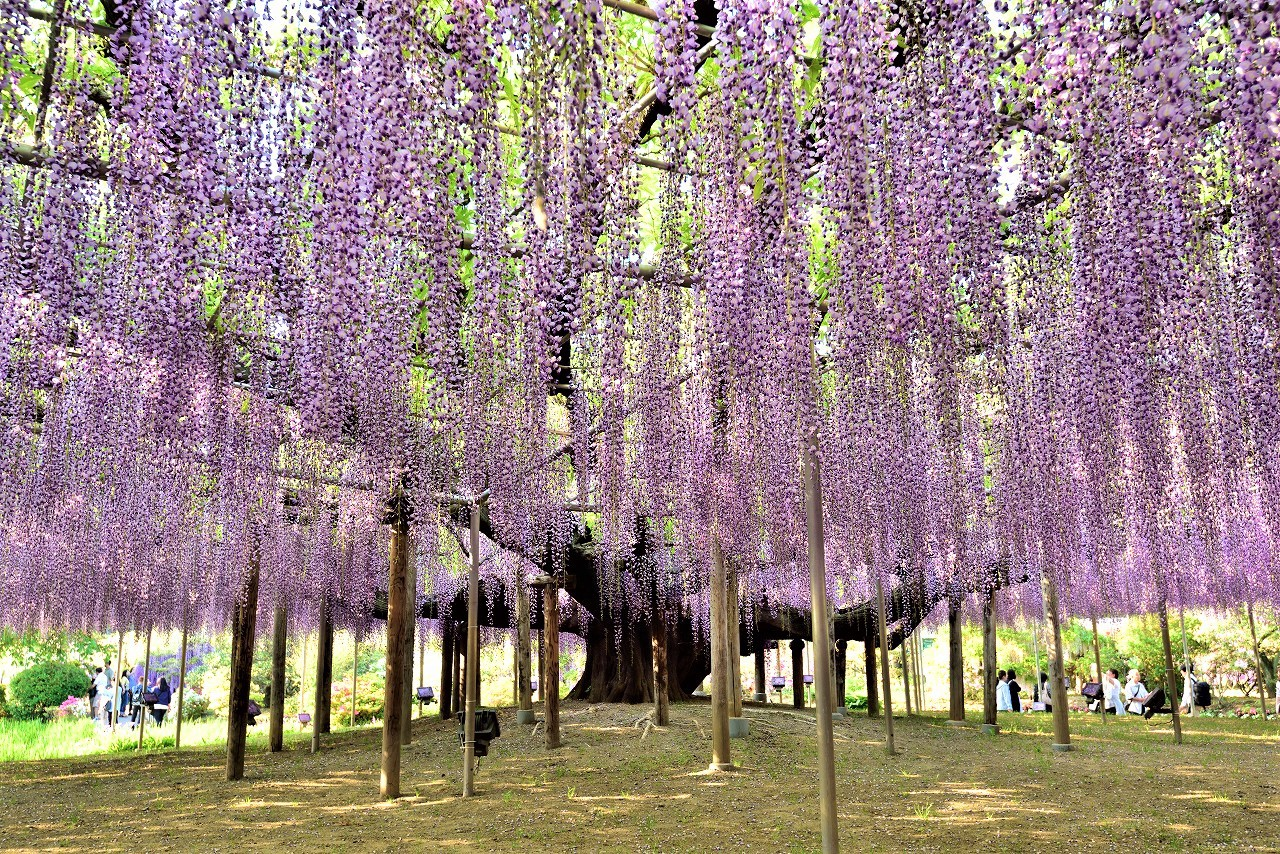 2020 Great Wisteria Festival at Ashikaga Flower Park