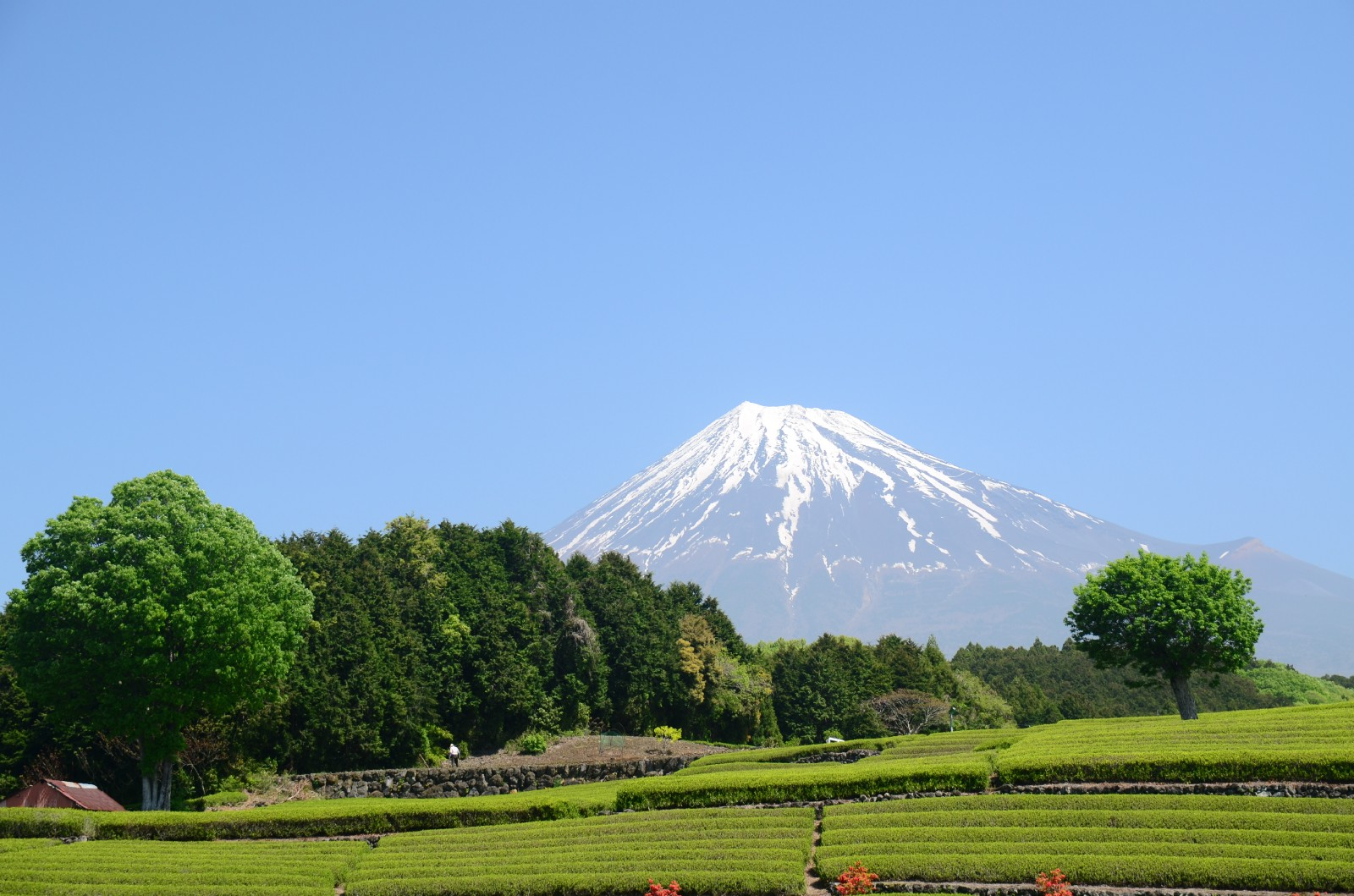 Obuchi Sasaba and Imamiya: Best Green Tea Plantations in Shizuoka