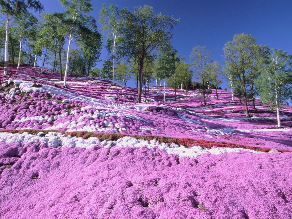 "Colourful Shibazakura ""Pink Moss"" in gradation"