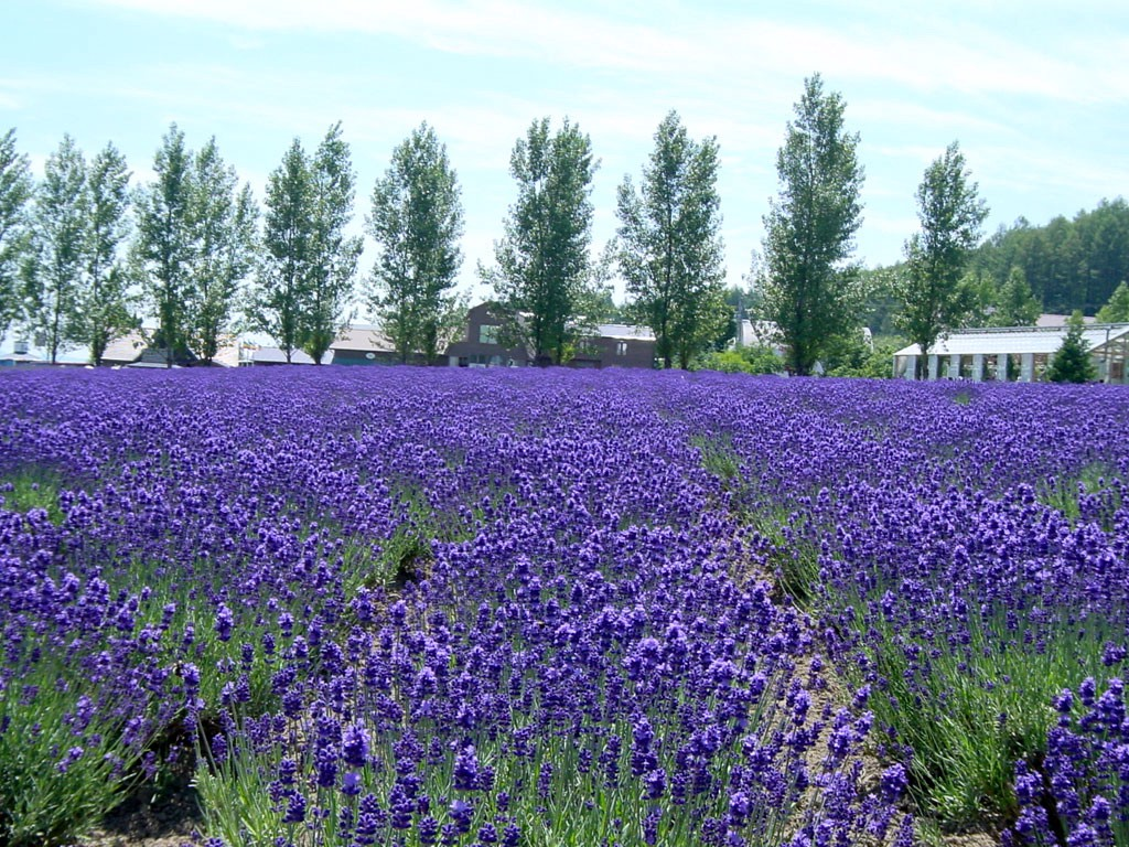 The popular lavender field at Farm Tomita