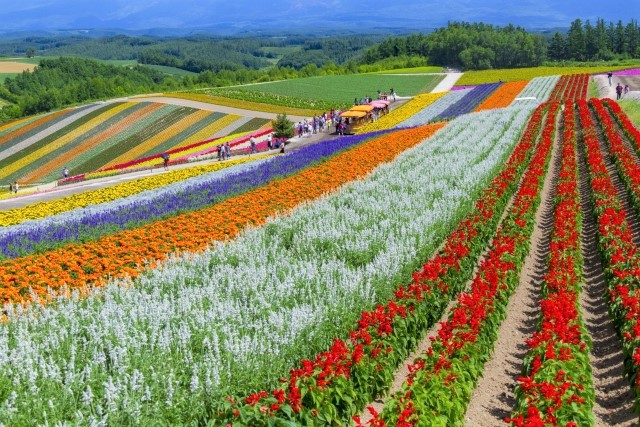 The rainbow flower field at Shikisai Hill in Biei