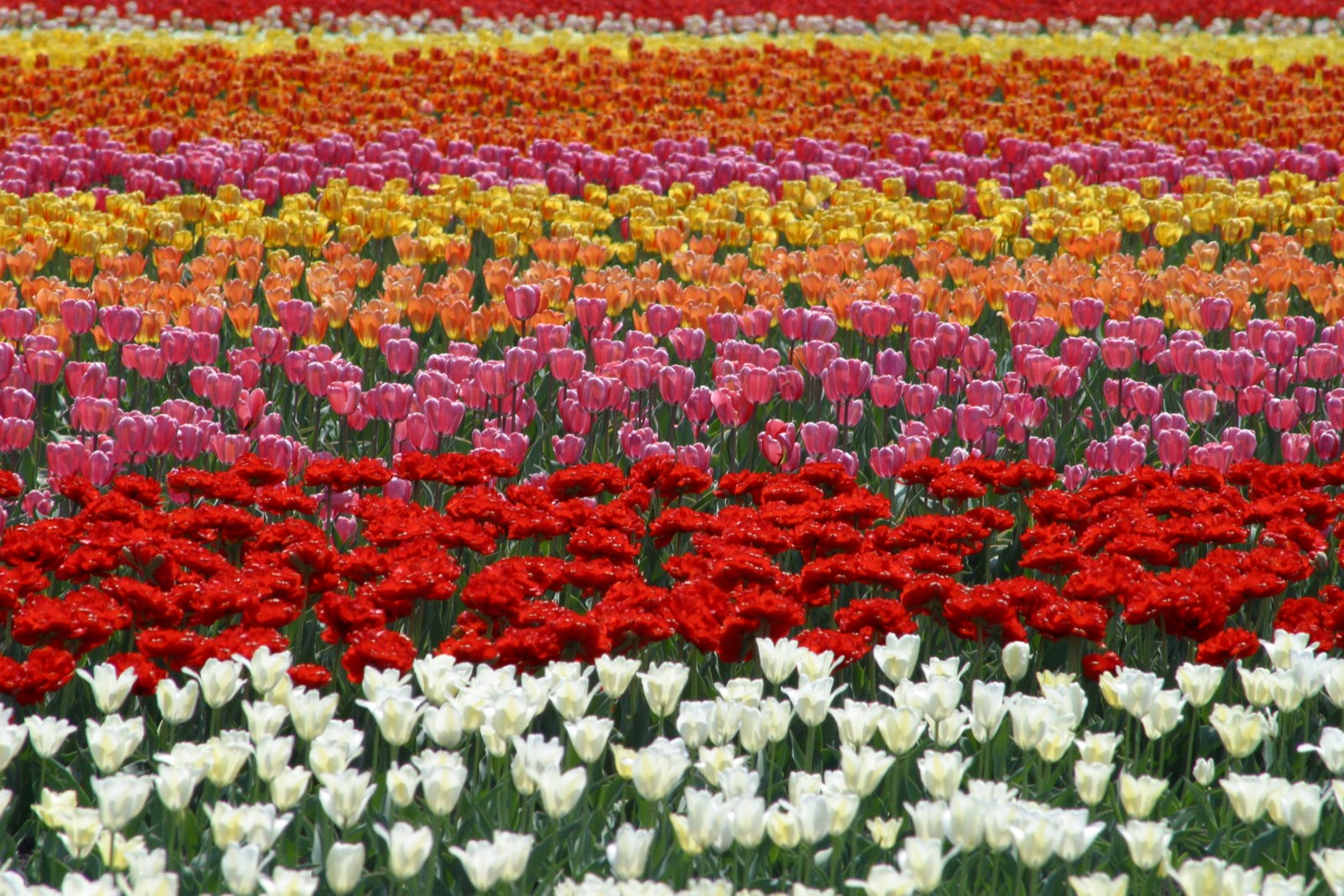 The row of colourful tulips