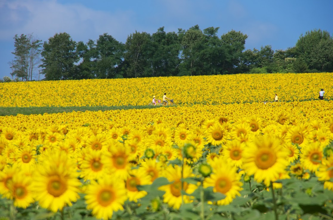 The sea of sunflowers in Hokkaido