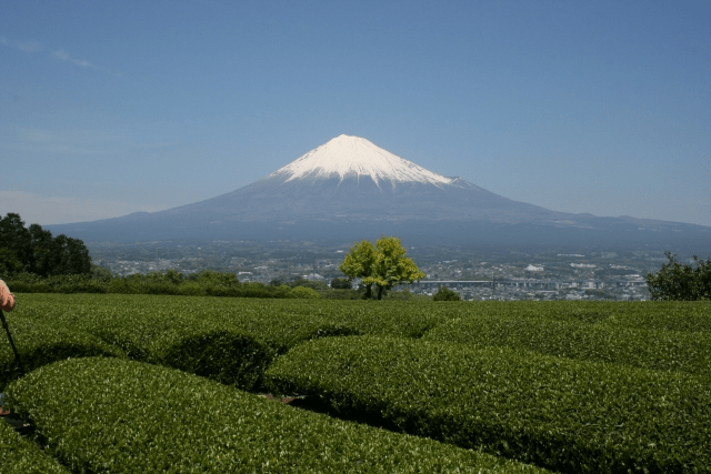 Green tea plantations near Mt Fuji