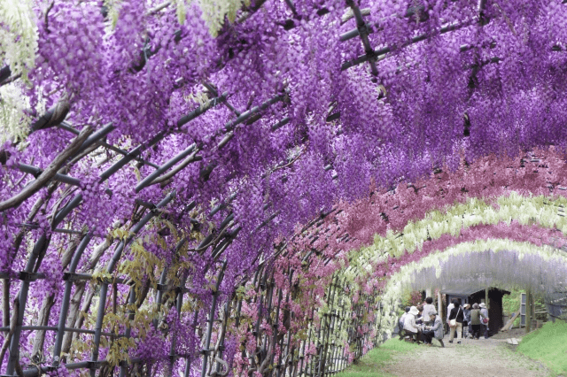 The elegant tunnel of Wisteria flowers
