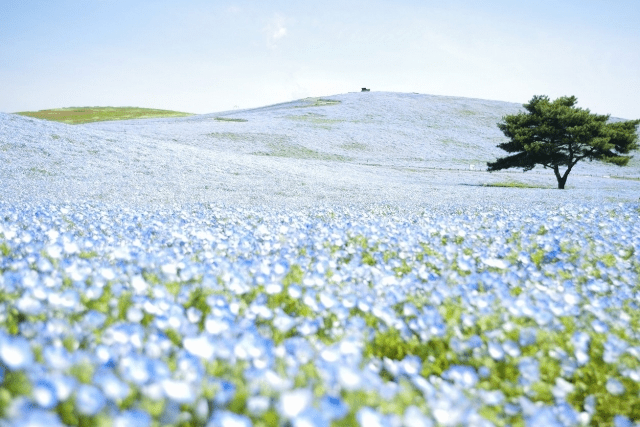 Baby Blue Eyes covered the hill at Hitachi Seaside Park