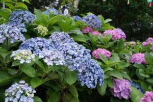 5 Best Spots for Hydrangeas Viewing in Tokyo