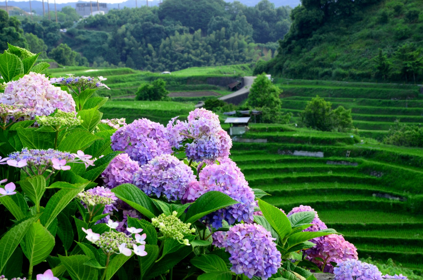 Beautiful hydrangea in Japan in June