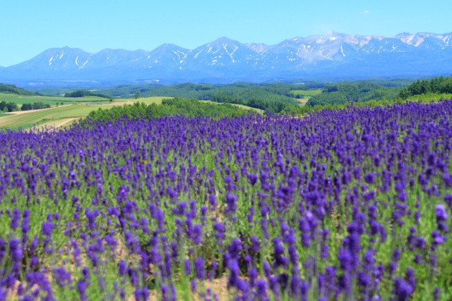Lavender fields and the magnificent mountain range in Hokkaido