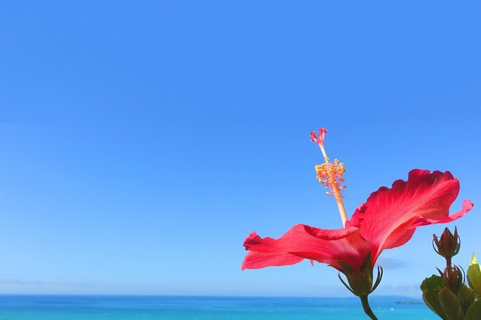 Hibiscus with the blue sky and ocean in Okinawa