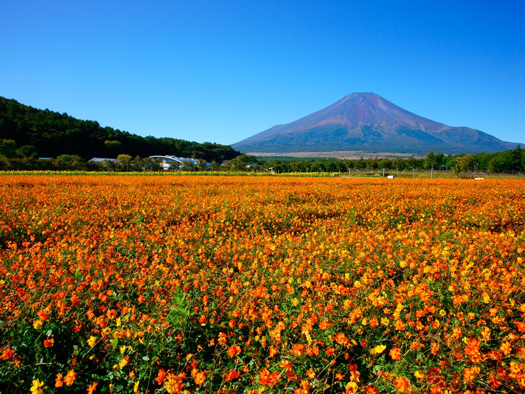 The golden cosmos field on the foot of Mt Fuji