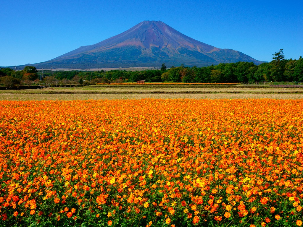 The cosmos flower field next to Mt Fuji