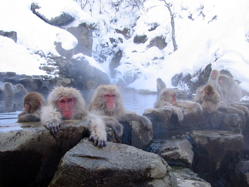 Snow monkeys bathing at Jigokudani Onsen Park