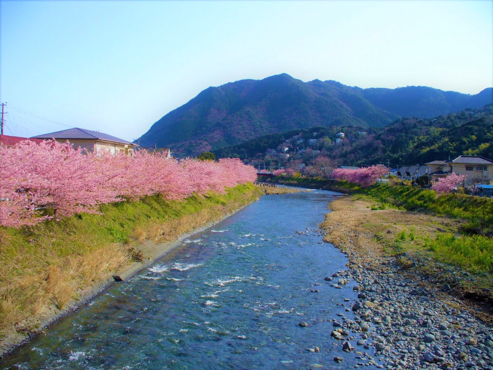 Kawazu Sakura: the early blooming cherry blossoms in Izu