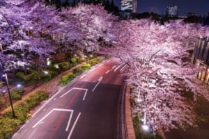 Tokyo Midtown Cherry Blossoms