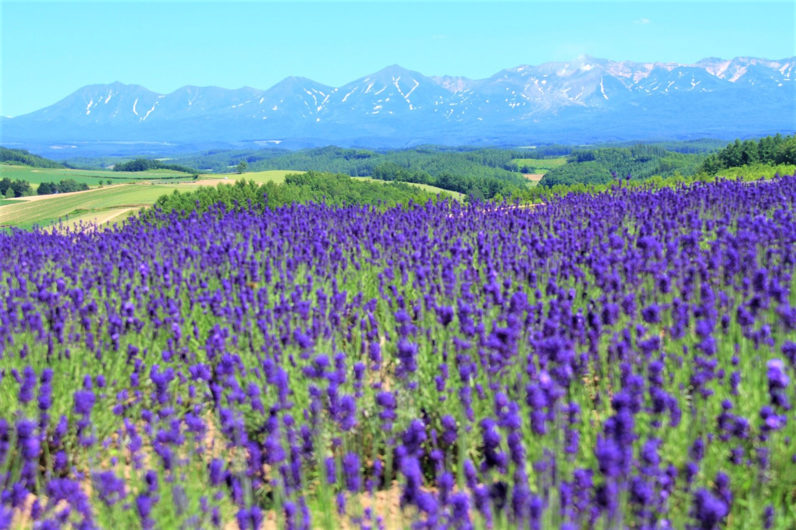 Lavender field in Hokkaido in summer