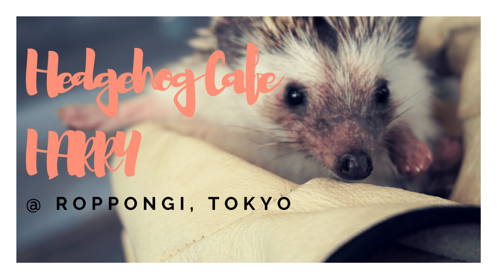Cuteness Overload!! Hedgehog Cafe HARRY in Roppongi Tokyo