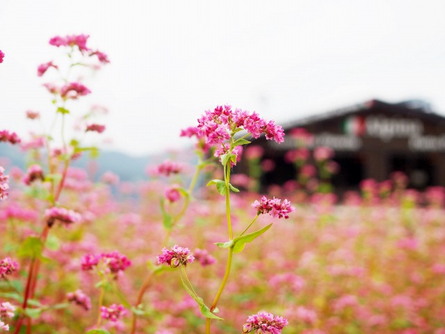 Minowa Red Soba Flower Field 2021 - Japan Web Magazine