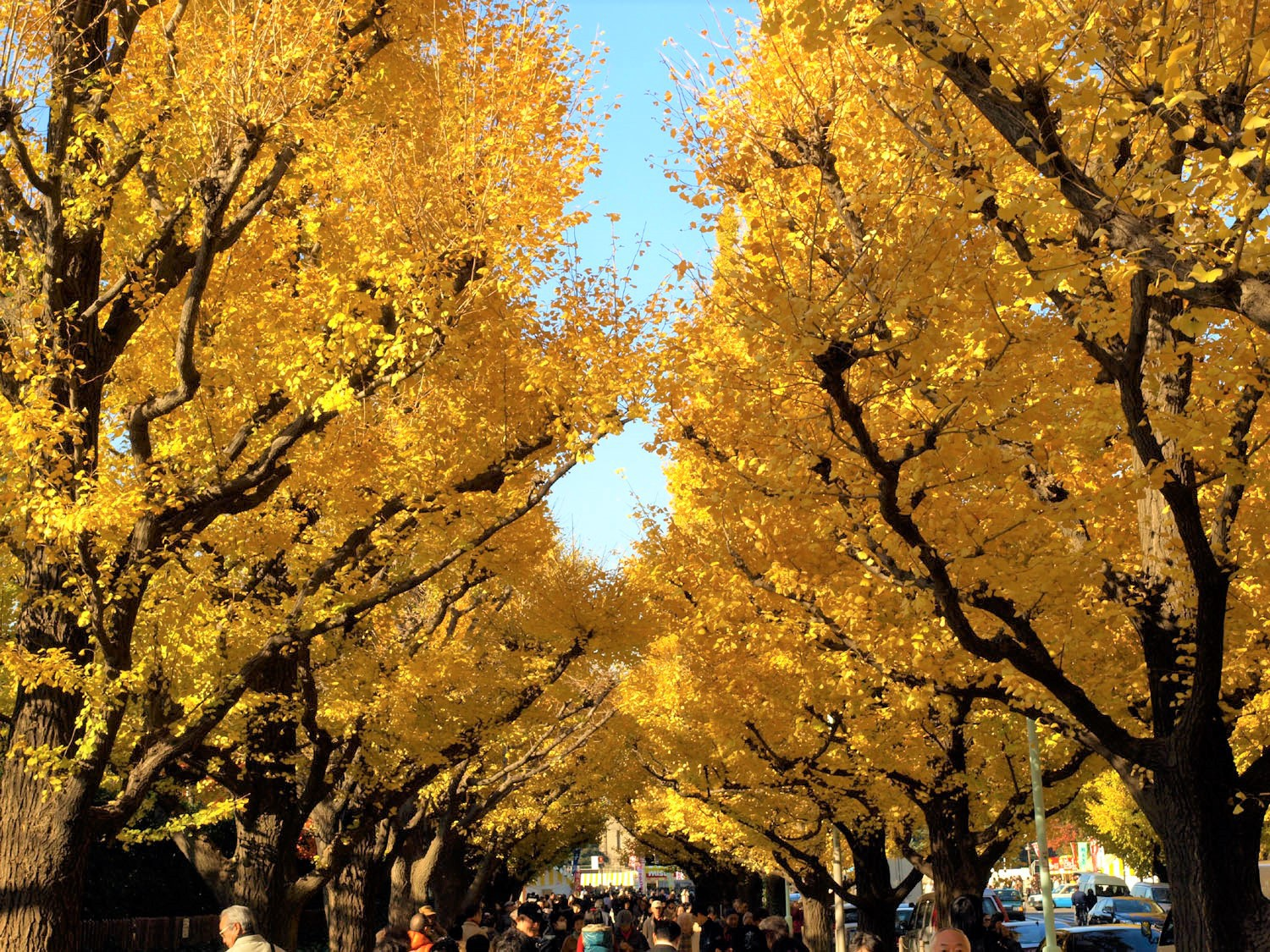 The stunning Ginkgo avenue at Meiji Jingu Gaien Icho Matsuri