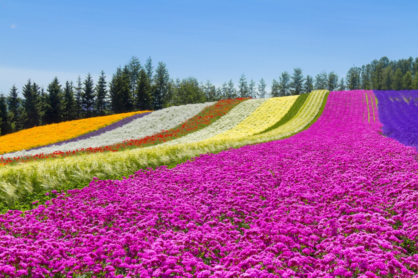 The colourful flower carpet at Tomita Farm, Furano