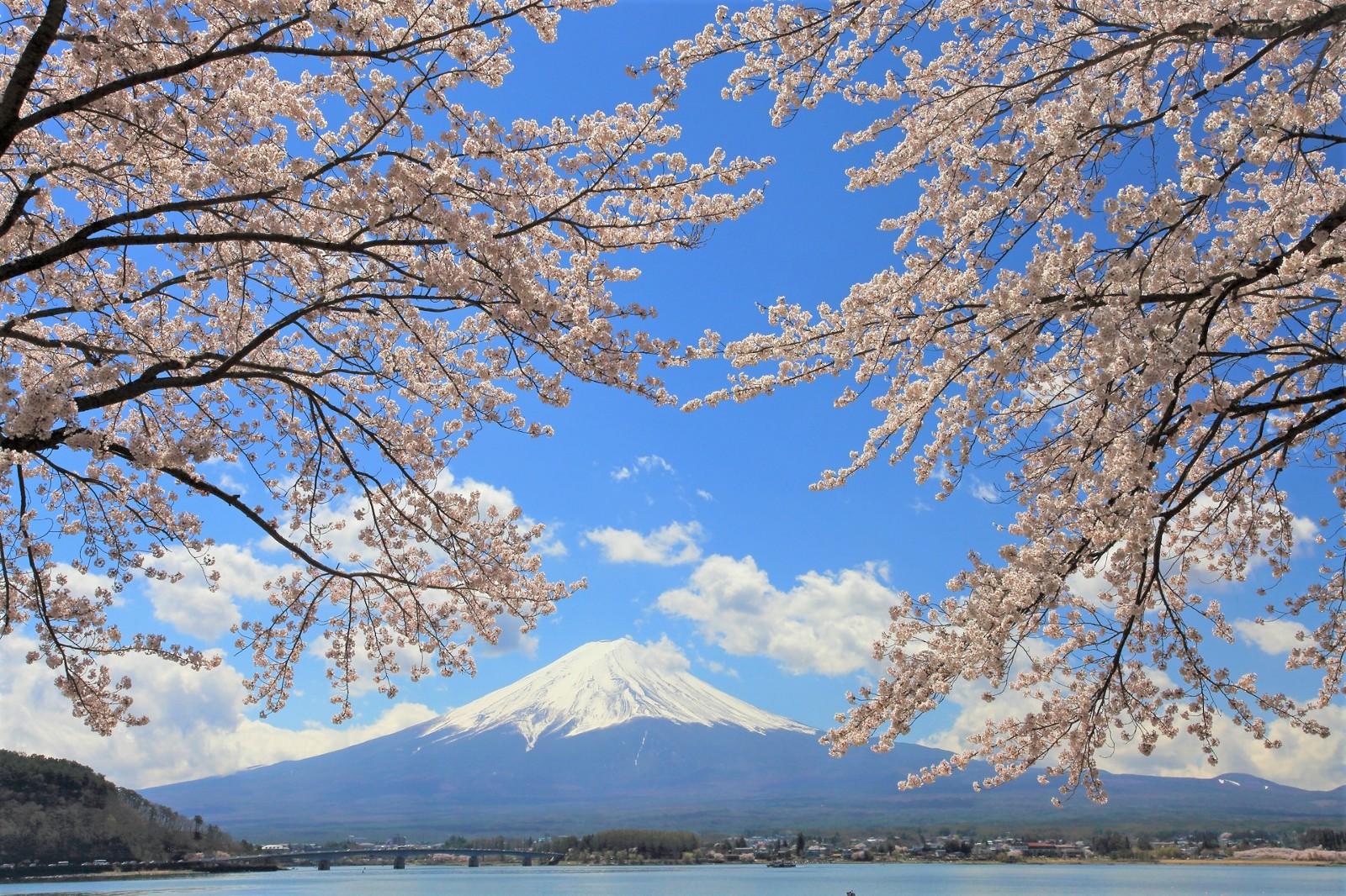 Fuji Kawaguchiko Cherry Blossom Festival 2021