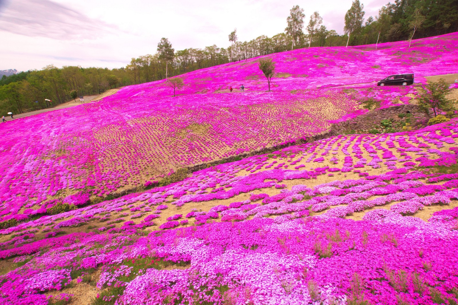 Image result for pink moss hokkaido
