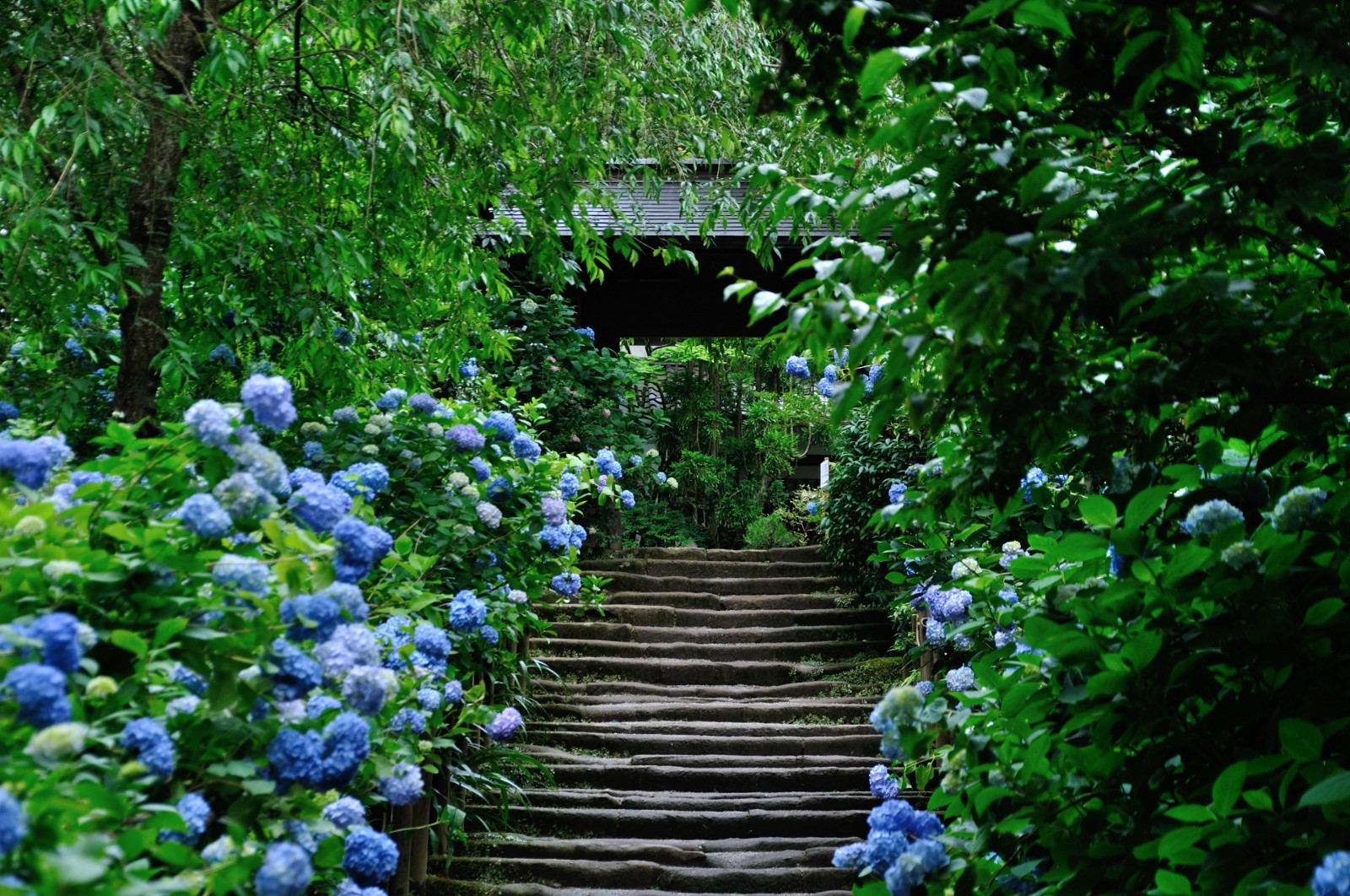 3 Best Temples in Kamakura for Hydrangea Viewing