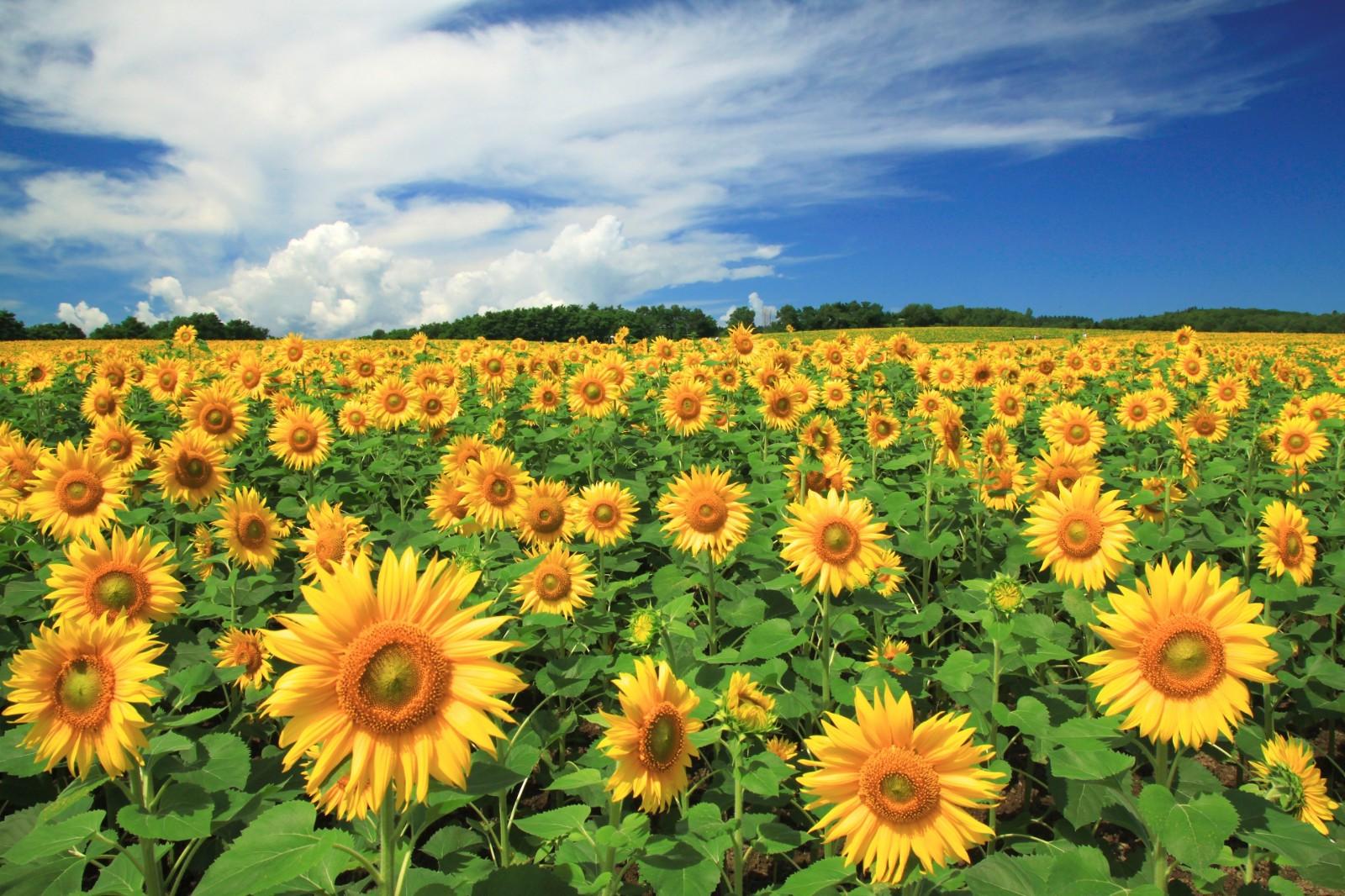 7 Best Sunflower Fields in Japan 2021